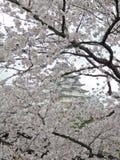 Sakura (άνθη κερασιών) στην ανασκόπηση Himeji Castle στοκ φωτογραφίες