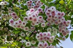 Sakura άνθισης Στοκ φωτογραφία με δικαίωμα ελεύθερης χρήσης