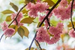 Sakura Άνθος κερασιών στην άνοιξη Στοκ εικόνα με δικαίωμα ελεύθερης χρήσης