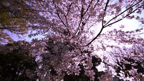 Sakura, άνθος κερασιών στο πάρκο Ueno στο Τόκιο, Ιαπωνία απόθεμα βίντεο