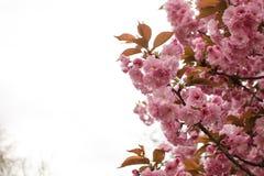 Sakura ανθίσματος άνοιξη Στοκ φωτογραφία με δικαίωμα ελεύθερης χρήσης