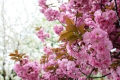 Sakura ανθίσματος άνοιξη Στοκ Εικόνα