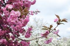 Sakura ανθίσματος άνοιξη Στοκ Φωτογραφίες