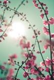 sakura ανθών στοκ εικόνα με δικαίωμα ελεύθερης χρήσης