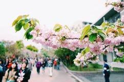 Sakura Ιαπωνία Στοκ Εικόνα
