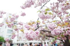 Sakura Ιαπωνία Στοκ εικόνα με δικαίωμα ελεύθερης χρήσης