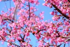Sakura ιαπωνικά ή άνθος και πουλί κερασιών στο ANG Khang Nati Doi Στοκ φωτογραφία με δικαίωμα ελεύθερης χρήσης