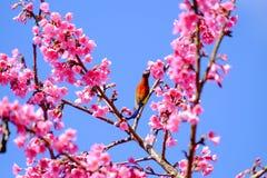 Sakura ιαπωνικά ή άνθος και πουλί κερασιών στο ANG Khang Nati Doi Στοκ Φωτογραφία
