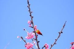 Sakura ιαπωνικά ή άνθος και πουλί κερασιών στο ANG Khang Nati Doi Στοκ φωτογραφίες με δικαίωμα ελεύθερης χρήσης
