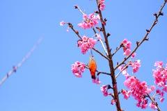 Sakura ιαπωνικά ή άνθος και πουλί κερασιών στο ANG Khang Nati Doi Στοκ Φωτογραφίες
