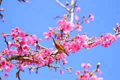 Sakura ιαπωνικά ή άνθος και πουλί κερασιών στο ANG Khang Nati Doi Στοκ εικόνα με δικαίωμα ελεύθερης χρήσης