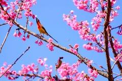 Sakura ιαπωνικά ή άνθος και πουλί κερασιών στο ANG Khang Nati Doi Στοκ εικόνες με δικαίωμα ελεύθερης χρήσης