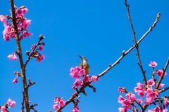 Sakura ιαπωνικά ή άνθος και πουλί κερασιών στο ANG Khang Nati Doi Στοκ Εικόνες