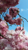 Sakura και ο μπλε ουρανός Στοκ Εικόνες