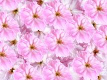 sakura λουλουδιών ανασκόπησ&et Στοκ εικόνες με δικαίωμα ελεύθερης χρήσης