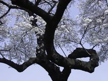 Sakura με το κατσάρωμα του κλάδου στοκ εικόνα με δικαίωμα ελεύθερης χρήσης