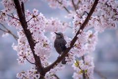 Sakura με Bulbul Στοκ Εικόνα