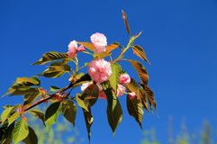 sakura λουλουδιών στοκ φωτογραφίες με δικαίωμα ελεύθερης χρήσης