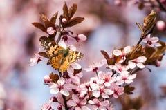 sakura πεταλούδων Στοκ Εικόνα
