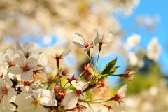 Sakura που ανθίζει, ιαπωνικά δέντρα κερασιών foreground στοκ φωτογραφία με δικαίωμα ελεύθερης χρήσης