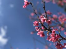 sakura ρόδινο τιγρών ANG Khang Doi λουλουδιών ανθίζοντας Στοκ Εικόνες