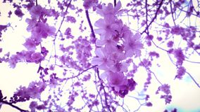 Sakura στην άνθιση κατά την ιαπωνική άποψη κήπων από κάτω από απόθεμα βίντεο