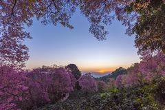 Sakura στην ανατολή khun chang khian Στοκ φωτογραφία με δικαίωμα ελεύθερης χρήσης