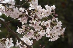 Sakura στην Οζάκα Στοκ εικόνες με δικαίωμα ελεύθερης χρήσης