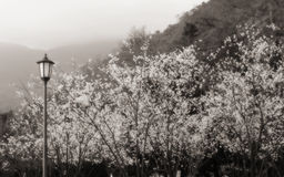 Sakura στην ομίχλη Στοκ Εικόνες