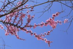 Sakura στο Ισραήλ στοκ φωτογραφία με δικαίωμα ελεύθερης χρήσης