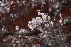 Sakura στο Κιότο Στοκ Εικόνες