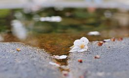 Sakura στο νερό Στοκ εικόνα με δικαίωμα ελεύθερης χρήσης