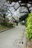 Sakura στο πάρκο - όμορφο άνθος κερασιών στην πλήρη άνθιση στην Ιαπωνία Στοκ φωτογραφία με δικαίωμα ελεύθερης χρήσης