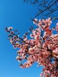 Sakura στο Παρίσι στοκ εικόνα