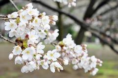 Sakura στο πλήρες άνθος Στοκ φωτογραφία με δικαίωμα ελεύθερης χρήσης