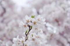 Sakura στο πλήρες άνθος Στοκ Εικόνες