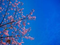 Sakura στο όμορφο βουνό ANG doi khang Στοκ Φωτογραφίες