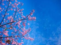 Sakura στο όμορφο βουνό ANG doi khang Στοκ εικόνες με δικαίωμα ελεύθερης χρήσης