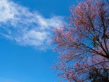 Sakura στο όμορφο βουνό ANG doi khang Στοκ Εικόνες