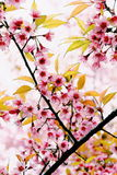 Sakura Ταϊλάνδη Στοκ Φωτογραφία
