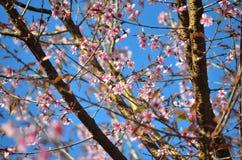 Sakura Ταϊλάνδη Στοκ εικόνα με δικαίωμα ελεύθερης χρήσης