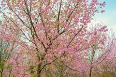Sakura Ταϊλάνδη Στοκ φωτογραφίες με δικαίωμα ελεύθερης χρήσης
