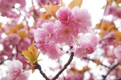 sakura της Ιαπωνίας Στοκ Φωτογραφία