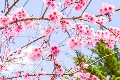 Sakura της Ταϊλάνδης Στοκ Φωτογραφία
