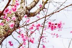 Sakura της Ταϊλάνδης Στοκ φωτογραφία με δικαίωμα ελεύθερης χρήσης