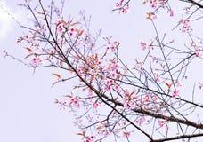 Sakura της Ταϊλάνδης Στοκ εικόνα με δικαίωμα ελεύθερης χρήσης