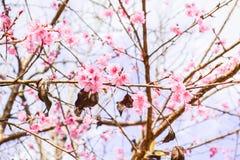 Sakura της Ταϊλάνδης Στοκ Εικόνες