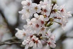 Sakura του Τόκιο Στοκ Φωτογραφία