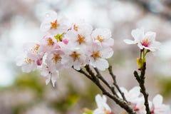 Sakura το ομορφότερο λουλούδι στην Ιαπωνία Στοκ Εικόνες