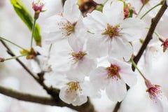 Sakura το ομορφότερο λουλούδι στην Ιαπωνία Στοκ Φωτογραφία